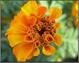 immunity flower essence spray
